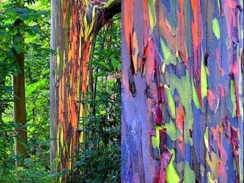 rainbow tree- 10 fenomeni più belli del mondo