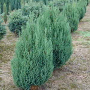 10 piante da balcone sempreverdi - Sempreverde da giardino ...