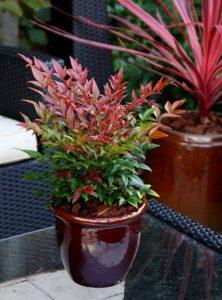 nandina pianta sempreverde da balcone