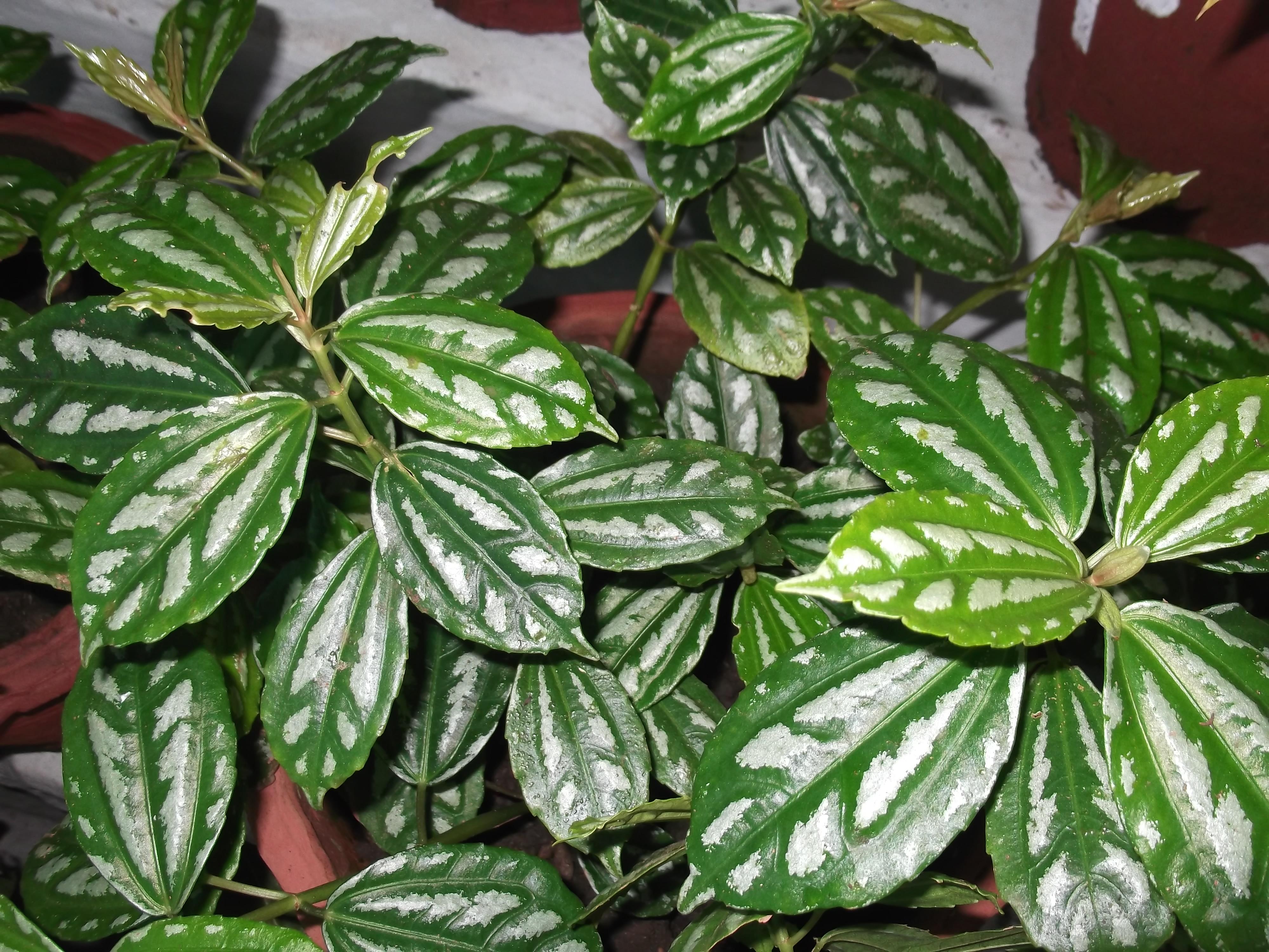 Pilea pianta sempreverde da balcone for Piante da aiuola sempreverdi