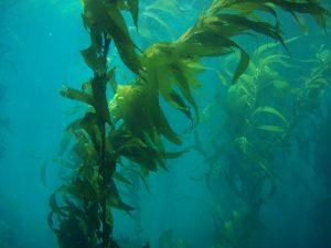 alghe marine per produrre biocarburante