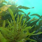 Alghe per produrre biocarburante e energia pulita