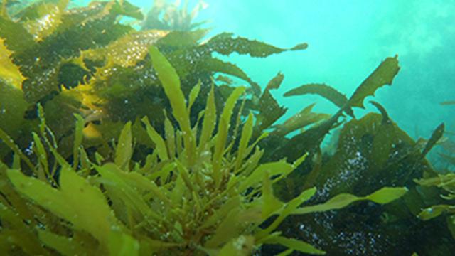 alghe per produrre biocombustibile