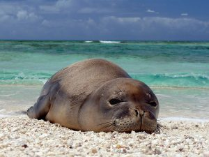 foca monaca delle hawaii area marina protetta