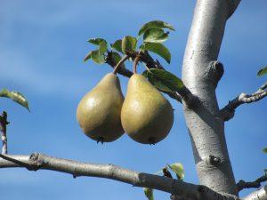 pere frutta di stagione di settembre