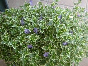 10 piante da balcone sempreverdi for Piante da esterno in vaso perenni