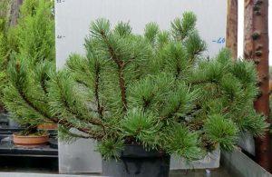pino mugo pianta da balcone sempreverde