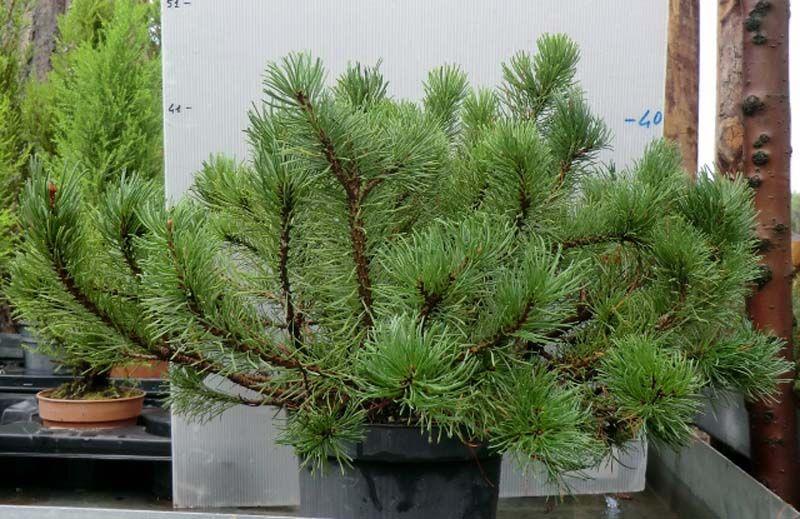 Pino mugo nano piante sempreverdi balcone for Piante verdi perenni da giardino