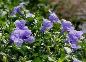 ruellia piante da balcone sempreverdi