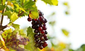 uva frutta stagione di settembre