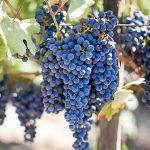 Uva, pere e susine: ecco la frutta di stagione di settembre
