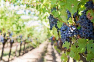 che cos'è il vino biodinamico
