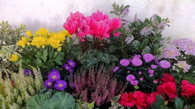 10 fiori da balcone invernali for Piante sempreverdi da balcone