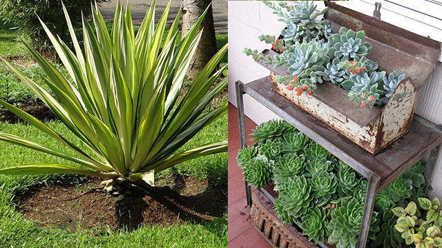 10 piante grasse da esterno che restano verdi per tutto l for Piante da balcone perenni