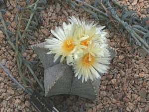 astrophytum pianta grassa da esterno resistente al freddo