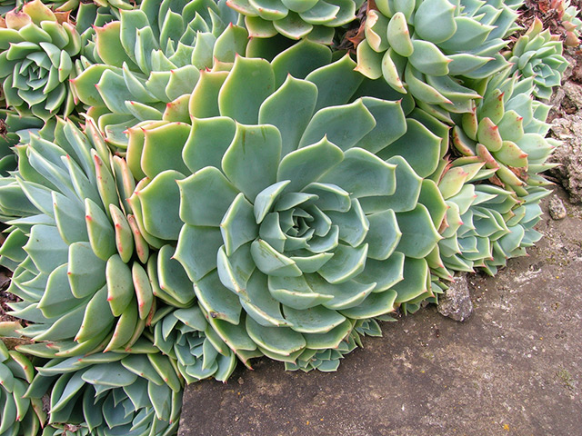 Echeveria pianta grassa da eseterno resistente al freddo - Piante grasse da esterno in inverno ...