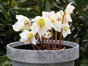 la rosa di natale coltivabile in vaso sul balcone