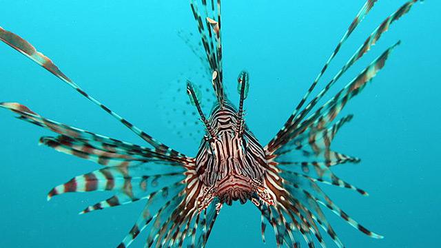 pesce scorpione allarme per sub e pescatori nel mediterraneo