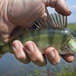 Squame di pesce: una nuova fonte di energia sostenibile