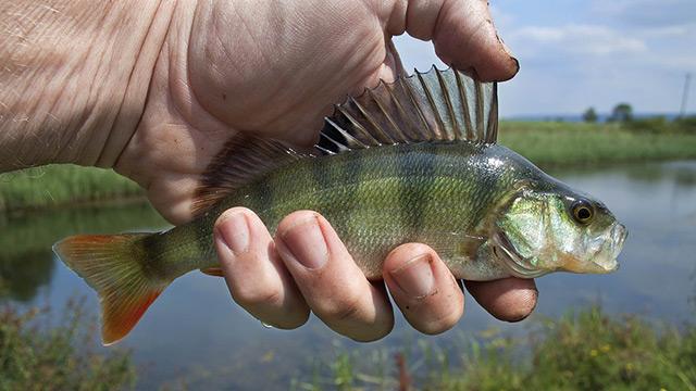 Scoperta nuova fonte di energia alternativa: dalle squame di pesce