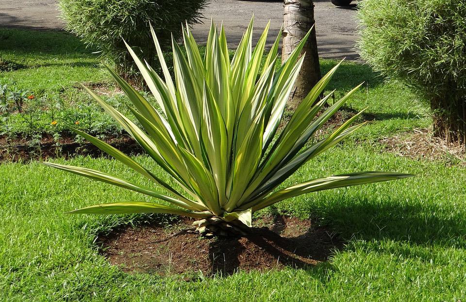 Agave americana piante grasse da esterno for Piante da esterno