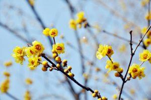 calicanto d'inverno fiore invernale