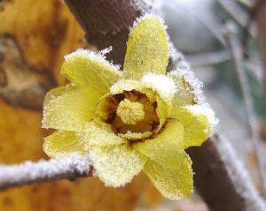 fiore da balcone invernale