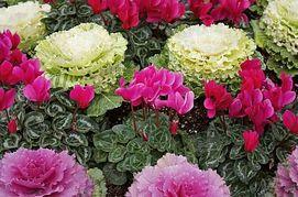 10 fiori da balcone invernali