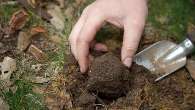coltivare tartufo 10 consigli per avviare una tartuficoltura