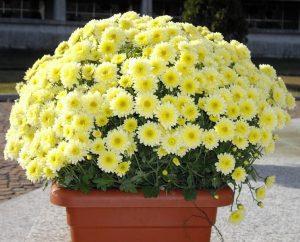 crisantemi fiore da balcone invernale