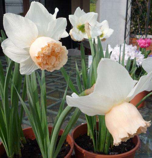 Narcisi autunnali fiore da balcone for Immagini fiori autunnali