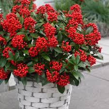 10 fiori da balcone invernali - Piante invernali da giardino ...