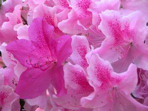 azalea pianta velenosa per gatti e cani
