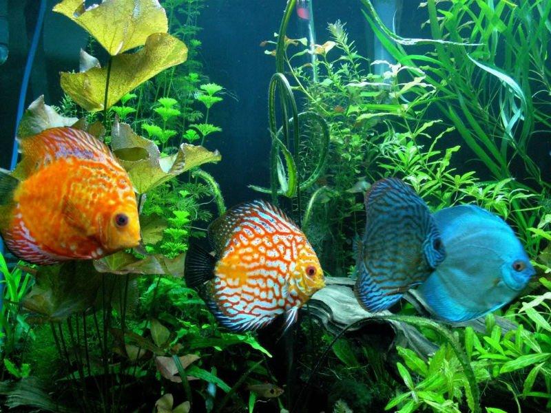 i discus: come allevare i più belli tra i pesci d'acquario - Acquario Casa Funzionamento E Prezzi