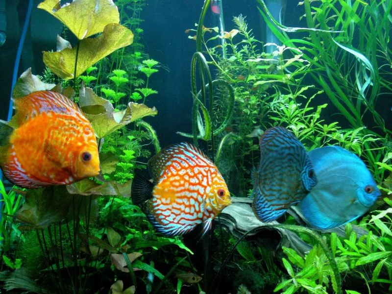 I discus come allevare i pi belli tra i pesci d 39 acquario for Acquario per pesci