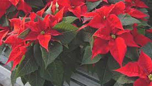 Come Mantenere Stella Di Natale.Stella Di Natale 10 Consigli Per Farla Vivere A Lungo