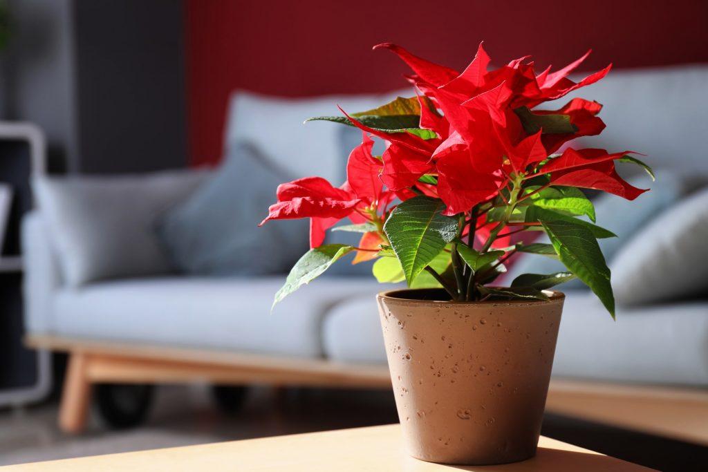 Stella di Natale pianta