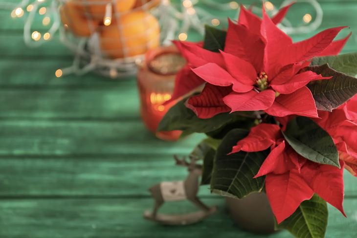 Come prendersi cura della Stella di Natale