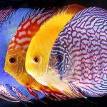 Discus: come allevare i più belli tra i pesci d'acquario