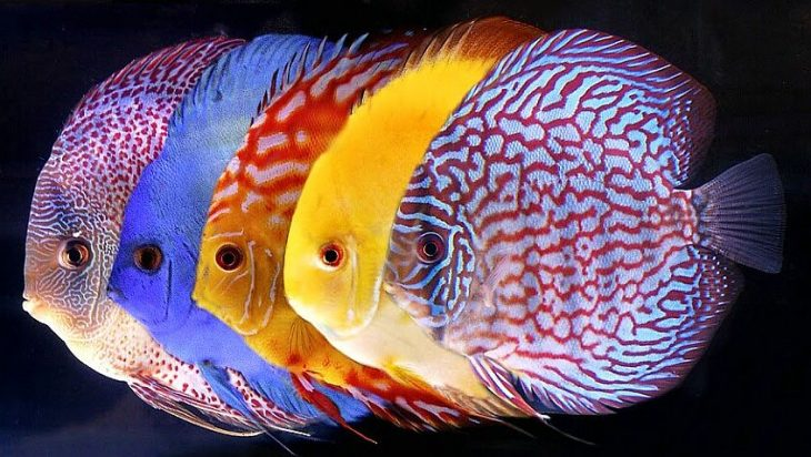I discus come allevare i pi belli tra i pesci d 39 acquario for Filtro acquario fai da te
