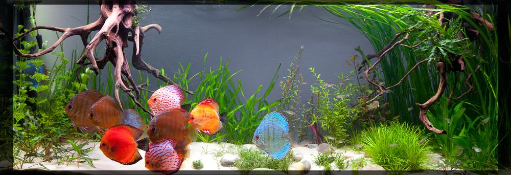 discus acquario piante e fondale