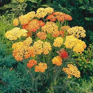 pianta da aiuola fiorita