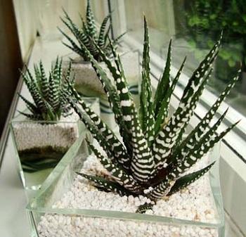 Cactus Zebra Pianta Grassa Appartamento