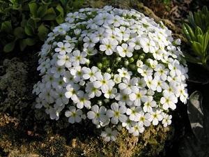 Arabis fiorita piante da aiuola