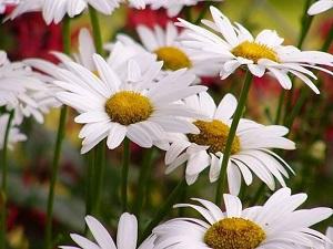 margherita bellis pianta da aiuola fiorita