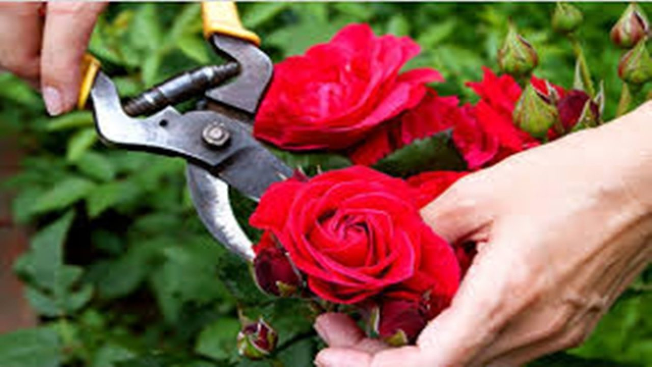 Potatura delle rose: 10 consigli per sapere quando e come farlo