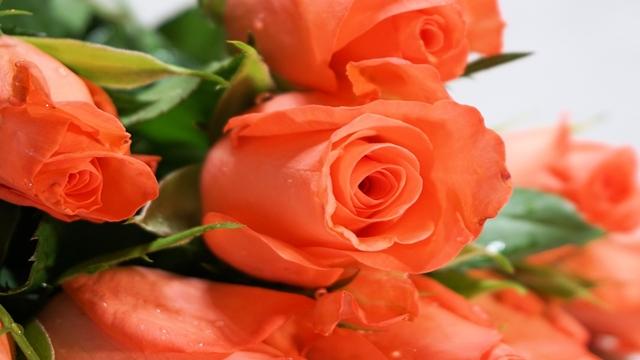 rose corso potatura
