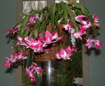 cactus natale pianta appartamento