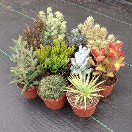 semi misti di piante grasse da appartamento