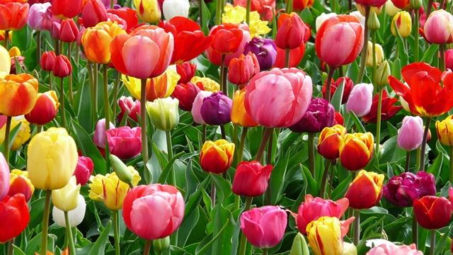 tulipani giornata nazionale